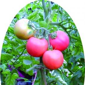 樱桃番茄种植方法