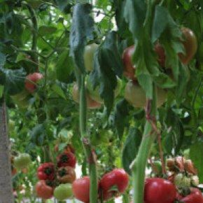 番茄生理性病害防治