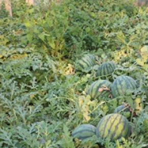 如何给西瓜种子催芽