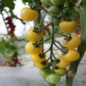 番茄裂果发生较多,可能由6个原因引起,做好6点措施早应对