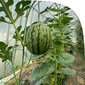 大棚蔬菜秋季管理不容忽视